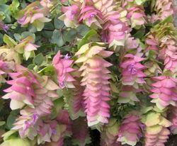 Hopflower Oregano Our Plants Kaw Valley Greenhouses