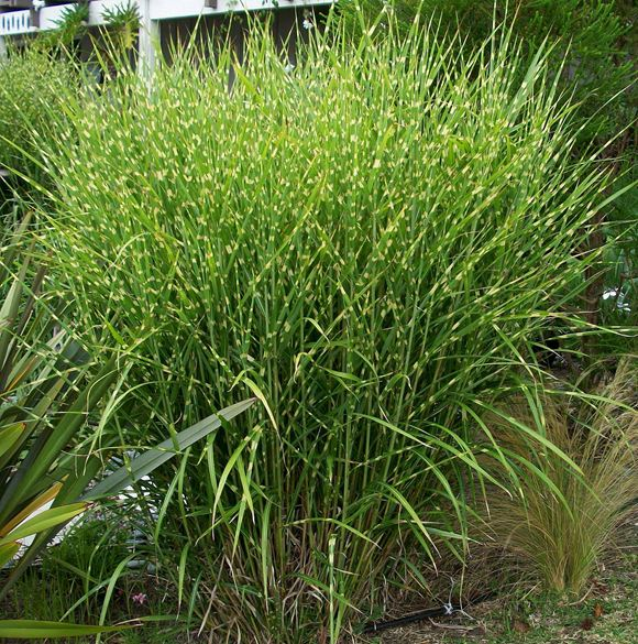 Porcupine grass our plants kaw valley greenhouses for Decorative lawn grass