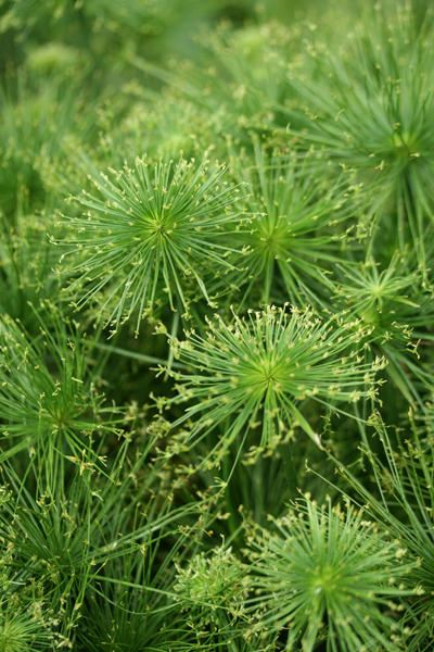Dwarf Papyrus Cyperus Prolifer