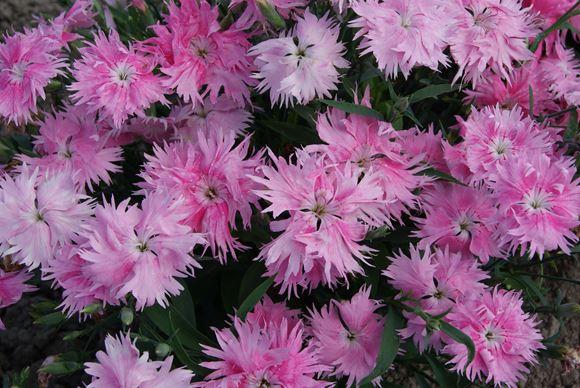 Dianthus Annual