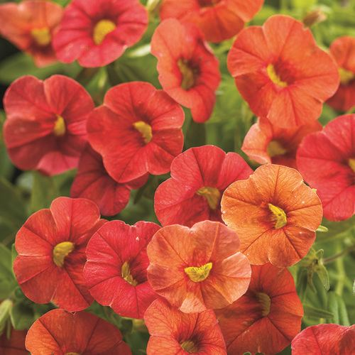 Best Hanging Basket Flowers For Hummingbirds : Calibrachoa million bells superbells our plants kaw