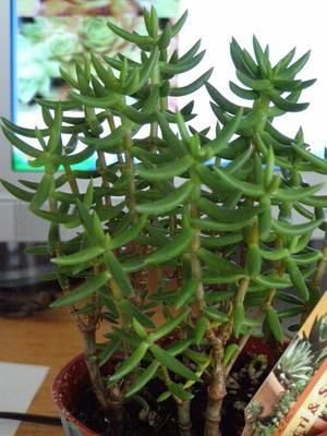 Succulent Miniature Pine Tree Our Plants Kaw Valley