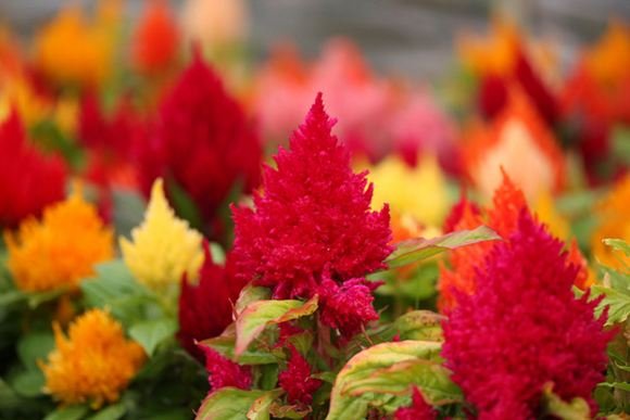 Feather Celosia Our Plants Kaw Valley Greenhouses
