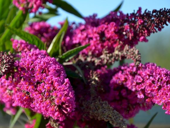 Butterfly Bush Dwarf Butterfly Bush Our Plants Kaw