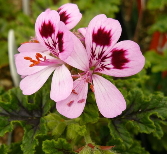 Mosquito Plant Scented Geranium Our Plants Kaw Valley