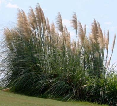 Hardy pampas grass ravenna grass plume grass our for Hardy tall ornamental grasses
