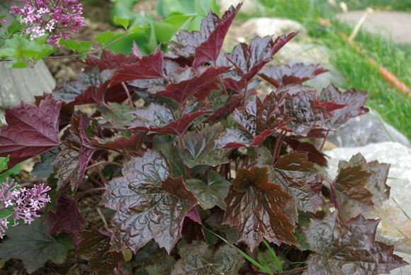 coral bells our plants kaw valley greenhouses. Black Bedroom Furniture Sets. Home Design Ideas