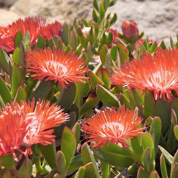 Hardy Ice Plant Our Plants Kaw Valley Greenhouses