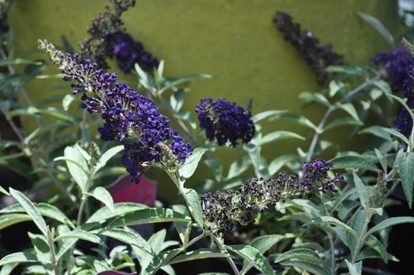 Bushes For Butterflies