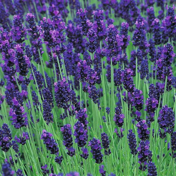 english lavender our plants kaw valley greenhouses. Black Bedroom Furniture Sets. Home Design Ideas
