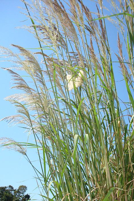 Hardy pampas grass ravenna grass plume grass our for Ornamental grass with white plumes