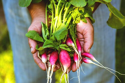 kaw valley easy to grow veggies person holding radishes.jpg