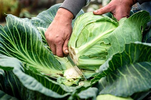 kaw valley easy to grow veggies person cutting cabbage plant.jpg