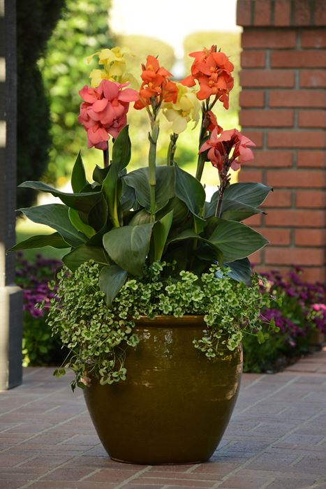 Canna Lily - Our Plants