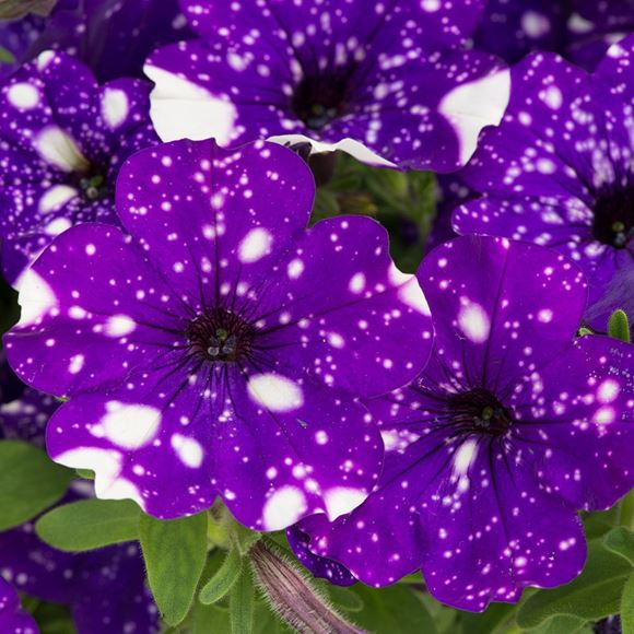 Petunia spreading petunia petunia hybrida night sky