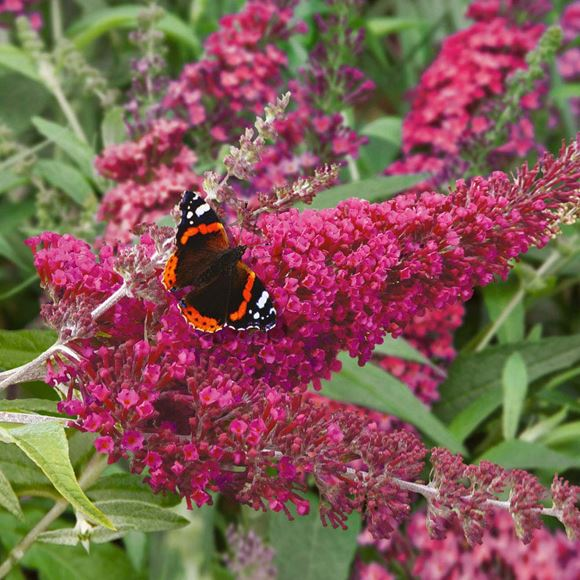 butterfly bush dwarf butterfly bush our plants kaw. Black Bedroom Furniture Sets. Home Design Ideas