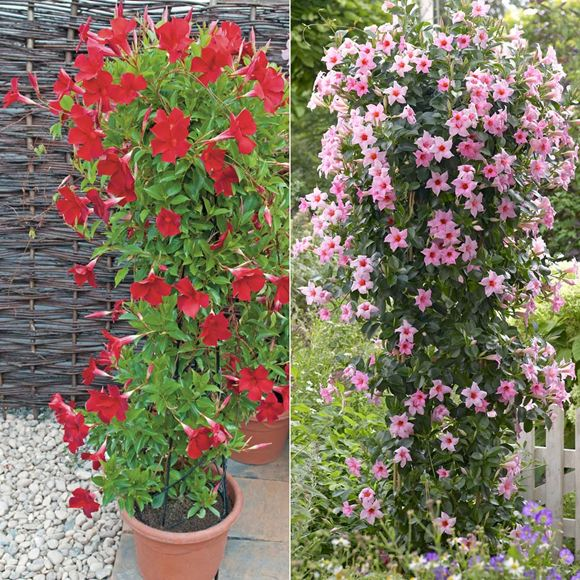 dipladenia our plants kaw valley greenhouses. Black Bedroom Furniture Sets. Home Design Ideas