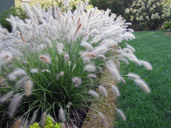 Dwarf fountain grass our plants kaw valley greenhouses for Hardy fountain grass