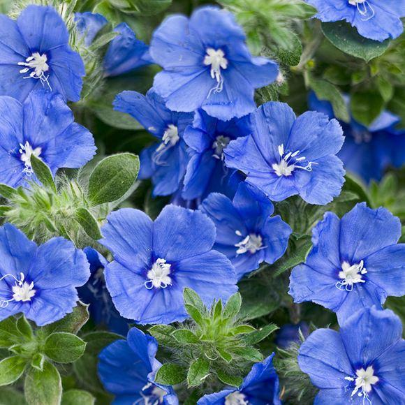 Evolvulus Dwarf Morning Glory Hybrid Blue My Mind Home Our Plants