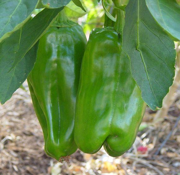 Sweet Pepper, Bell Pepper