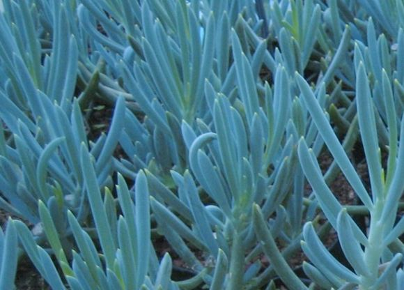 Succulent, Blue Ice Plant - Our Plants - Kaw Valley