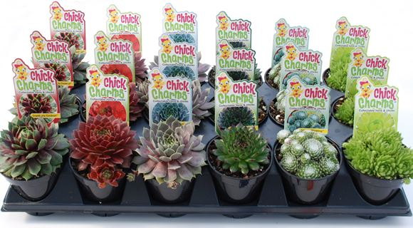 Hen And S Charms Succulent