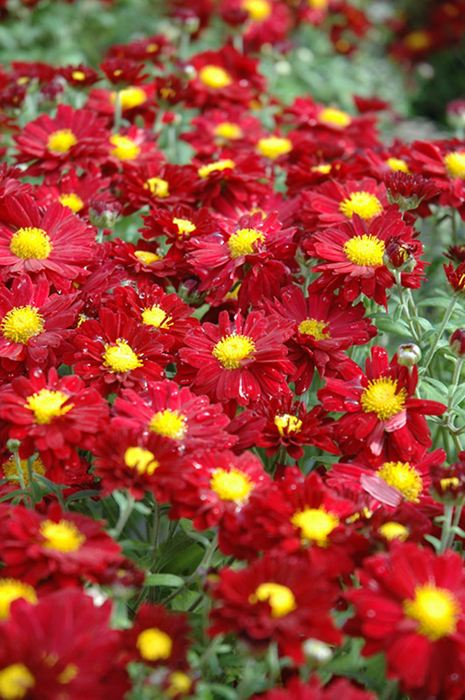 chrysanthemum garden mum hardy mum cushion mum our plants kaw valley greenhouses - Garden Mum