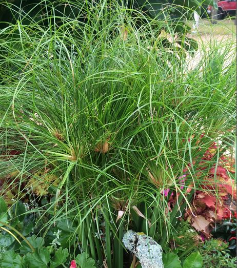 Cyperus, Dwarf Egyptian Papyrus, Egyptian Reed